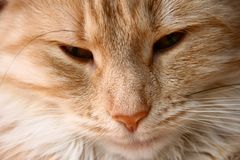 Close-Up norwegian forestcat Royalty Free Stock Photography