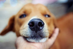 Close up nose of an adorable brown dog. Close up nose of an adorable brown dog while laying its mouth on the owner hand royalty free stock photos