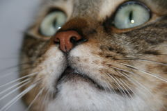 Close up of the nose of the cat Royalty Free Stock Images