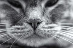 A close up nose of a gray tabby cat and whiskers. A macro image of a domestic/gray cat stock images