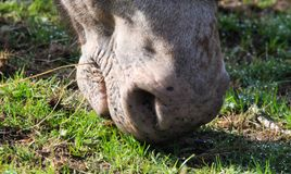 Close up of nose and mouth of horse grazing on meadow royalty free stock image