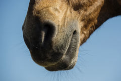 Close up nose of a wild horse face Stock Images