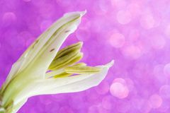 Close-up of a not fully revealed flower of alstroemeria royalty free stock photography