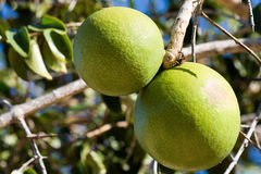 Close up of a not yet ripe orange. Royalty Free Stock Photo