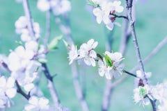 Close-up novo da flor do ramo da cereja da mola em vagabundos coloridos do borrão Fotografia de Stock