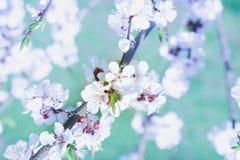 Close-up novo da flor do ramo da cereja da mola no backgr do borrão do bokeh Foto de Stock Royalty Free