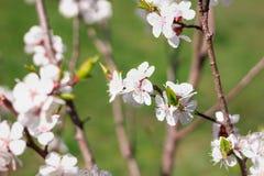 Close-up novo da flor do ramo da cereja da mola no bokeh colorido b Imagens de Stock