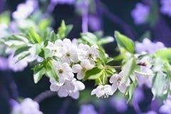 Close-up novo das flores da flor de cerejeira da mola no backg do borrão do bokeh Fotografia de Stock Royalty Free