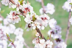 Close-up novo das flores do ramo da cereja da mola no backgr do borrão do bokeh Fotografia de Stock