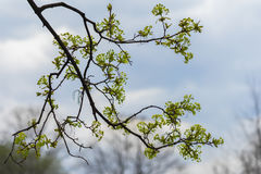 Close-up novo do ramo de árvore contra o céu claro com nuvens, conceito da mola adiantada, estações, tempo Natural moderno Imagem de Stock