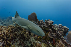 Close-up nurse shark swimming on coral reef Royalty Free Stock Photo