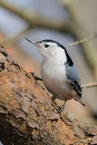 Close up of Nuthatch bird. Perched on tree branch Royalty Free Stock Photos