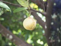 Close up of nutmeg fruits on a tree stock image