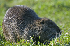 Close up Nutria Royalty Free Stock Photo