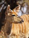 Close up of Nyala Stock Images