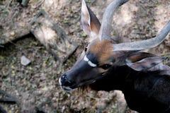 Close up Nyala antelope Nyala angasi in the zoo. At Thailand royalty free stock photo