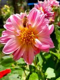 Bee on Pink Dahlia flower. Close up o pink Dahlia flower with bee in the middle Royalty Free Stock Photography