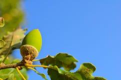 Close up of oak Royalty Free Stock Image
