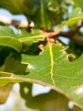 Close up of oak leaf background green Quercus robur. England; UK Stock Photo