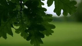 Close up of an oak tree branch with sunlight stock video footage