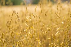Close up of oat ears growing on summer field Royalty Free Stock Image
