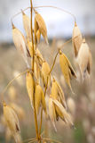 Close-up of oats in the field Stock Photography