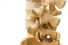 Lumbar spine model isolated on white background. Close-up oblique view of human lumbar and sacral spine model isolated on the white background royalty free stock photo