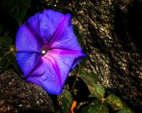 Close up of ocean blue morning glory flower