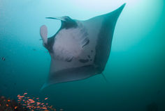 A close up of a oceanic manta ray Royalty Free Stock Images
