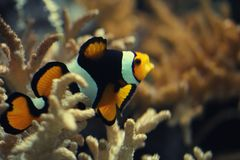 Close-up Ocellaris clownfish swim between Anemone flower under deep ocean, magnificent colorful ecosystem anemone. From scuba diving camera, natural design royalty free stock photos