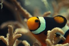 Close-up Ocellaris clownfish swim between Anemone flower under deep ocean, magnificent colorful ecosystem anemone. From scuba diving camera, natural design stock image