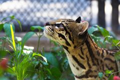 Close up of an Ocelot cat looking up while hiding in between plants. Ocelot cat hiding between vegetation in the garden looking up Royalty Free Stock Photos