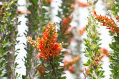 Close up of ocotillo in bloom with orange flowers stock image