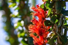 Close up of Ocotillo Fouquieria splendens wildflowers, Anza Borrego Desert State Park, California stock photography
