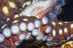 Close up of an Octopus tentacle underwater on cora Royalty Free Stock Image