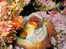 Close-up of Octopus vulgaris mollusc underwater. Close-up image of an Octopus vulgaris mollusc, underwater in the Mediterranean sea, Corsica Stock Images