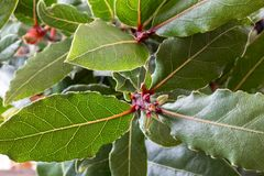 Free Close Up Of A Bay Leaf Plant Stock Photo - 142349850