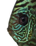 Close-up Of A Blue Snakeskin Discus  Head Stock Photo