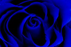 Free Close Up Of A Bright Blue Hybrid Rose Royalty Free Stock Photo - 167971865