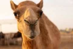 Free Close-up Of A Camel Stock Image - 148795941