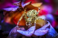 Close-up Of A Cross Spider Royalty Free Stock Photos