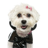 Close-up Of A Dressed-up Maltese Panting, Isolated Royalty Free Stock Images