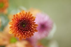 Free Close Up Of A Flower. Floral Pattern Background Of An Orange Gerber Daisy Flower. Blur Floral Spring Backgrounds. Top View. Royalty Free Stock Image - 206342006