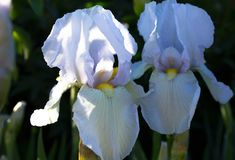 Free Close-up Of A Flower Of Bearded Iris Iris Germanica. Flower Be Stock Images - 92798834