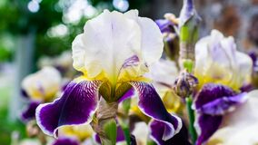 Free Close-up Of A Flower Of Bearded Iris Iris Germanica With Rain Drops . Yellow And Violet Iris Flowers Are Growing In A Garden Stock Images - 192094074