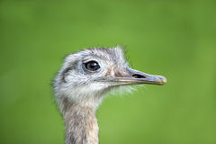 Close Up Of A Greater Rhea Royalty Free Stock Photography