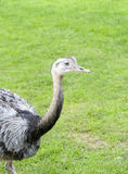 Close Up Of A Greater Rhea Stock Photography