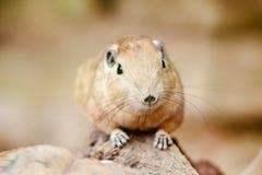 Free Close Up Of A Gundi Stock Image - 20124711
