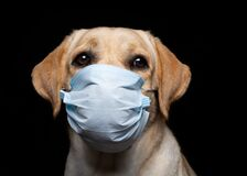 Free Close-up Of A Labrador Retriever Dog In A Medical Face Mask Stock Images - 199116854