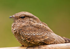Close-up Of A Ladder-tailed Nightjar Stock Photo